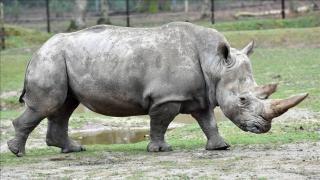 rhino horn bust
