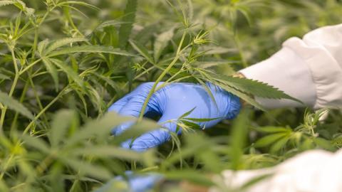 person picking cannabis
